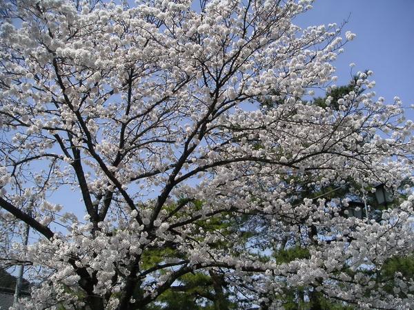 Сезон цветения сакуры в Японии начался