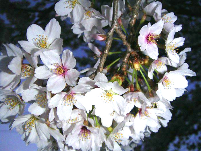Праздник весны «Японская суббота» в Санкт-Петербурге