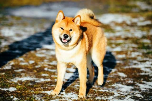 Япония и Россия: дипломатия на любви к собакам